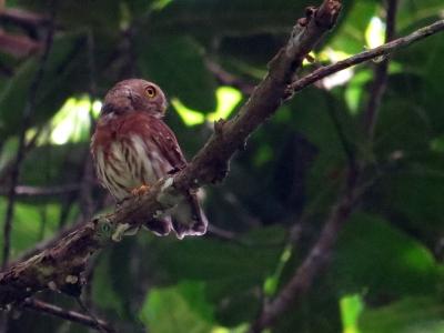IMG_2222 Least Pygmy Owl
