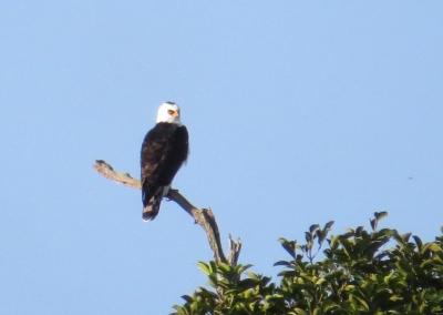 IMG_2395 B& W Hawk-eagle