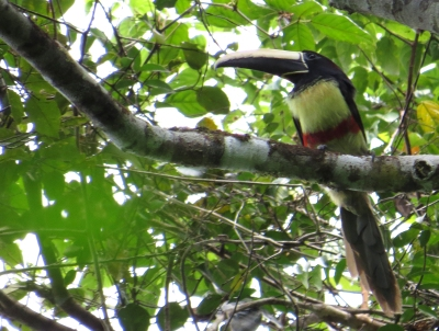 IMG_2418 Aracari to ID