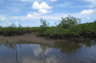 IMG_2435 mangroves