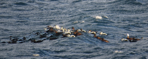 IMG_3003 Common Eiders