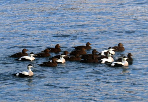 IMG_3228 Common Eiders