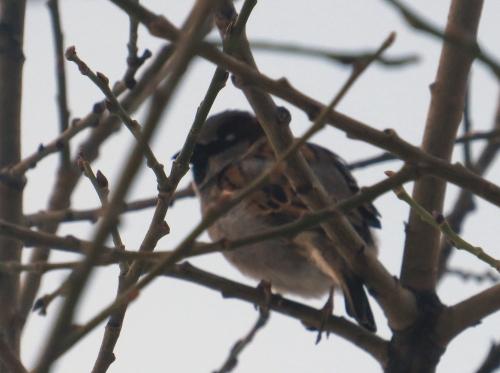 IMG_3237 House Sparrow