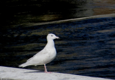 IMG_3302 Glaucous Gull