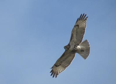 IMG_3316 RT Hawk