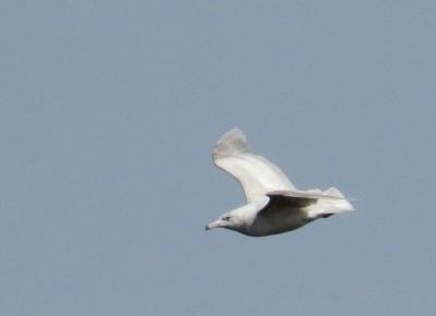 IMG_3338 Glaucous Gull