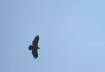 IMG_3406 Bald Eagle
