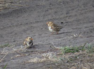 IMG_3470 Harris' Sparrow
