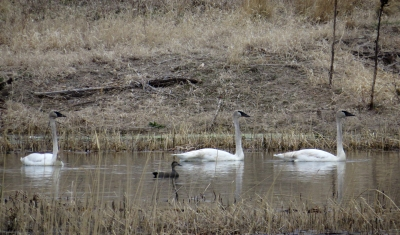 IMG_3510 Trumpeter Swans