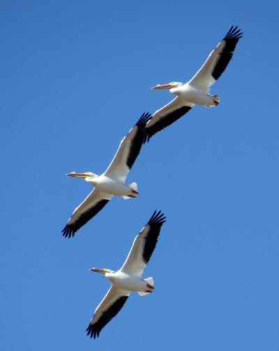 IMG_3745 White Pelican