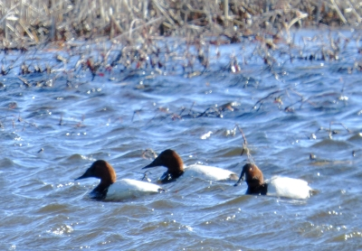 IMG_3766 Canvasback