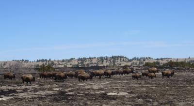 IMG_3869 bison