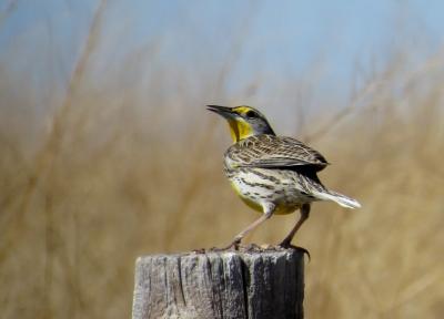 IMG_3896 Western Meadowlark
