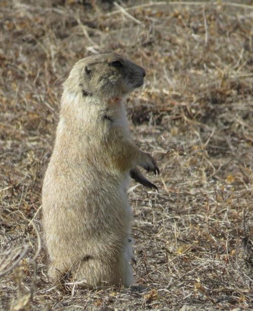 IMG_3968 Prairie Dog