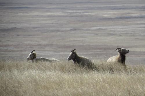 IMG_3972 Bighorn Sheep