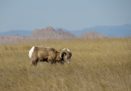 IMG_3974 Bighorn Sheep