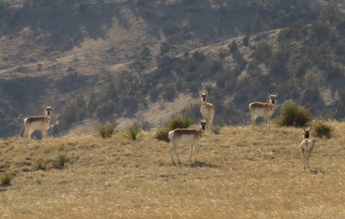 IMG_4077 Pronghorns