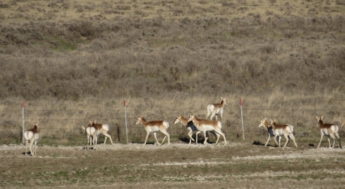 IMG_4094 Pronghorns