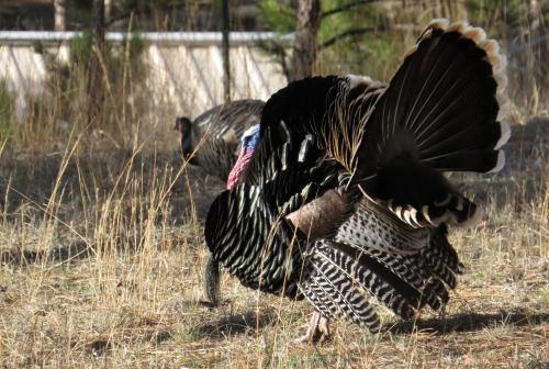 IMG_4117 Wild Turkey