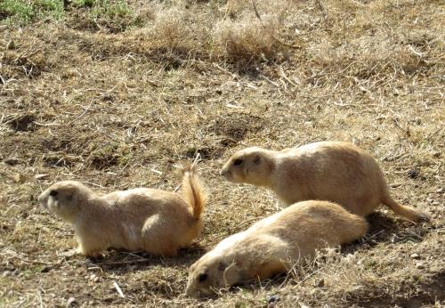 IMG_4128 Prairie Dogs