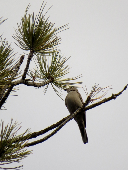 IMG_4157 Townsend's Solitaire