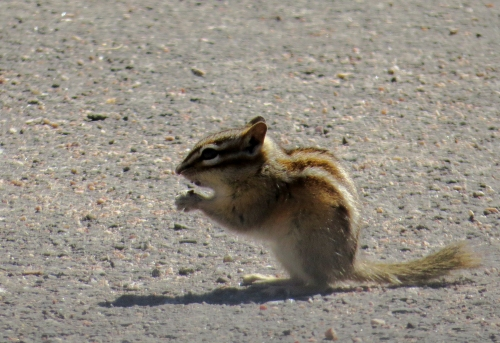 IMG_4191 Least Chipmunk