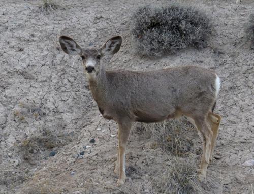 IMG_4234 Mule Deer