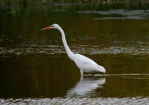 IMG_6722 Great egret
