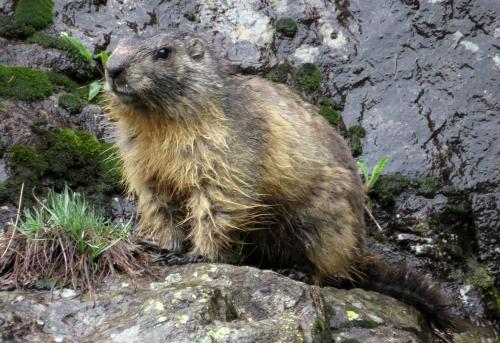 IMG_6882 Alpine Marmot