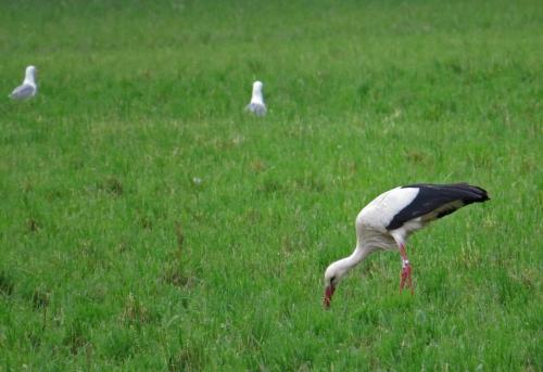 IMG_6908 White Stork & YLG