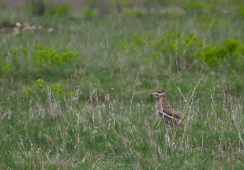 IMG_6914 Stone Curlew