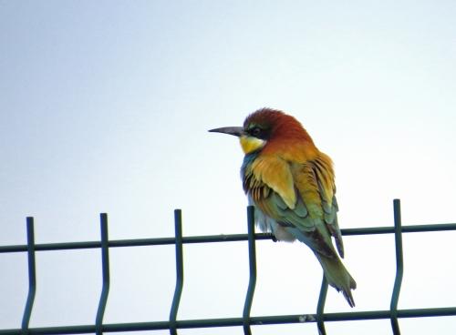 IMG_6937 Bee-eater