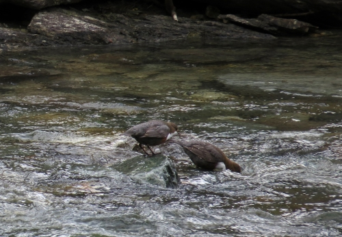 IMG_7123 Dippers