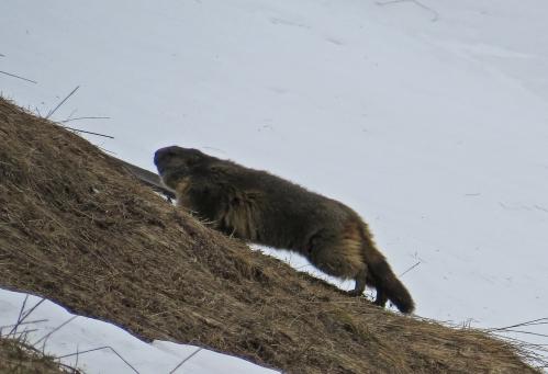 IMG_7263 Marmot
