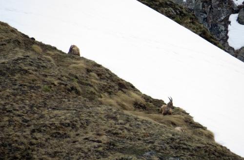 IMG_7272 Alpine Ibex