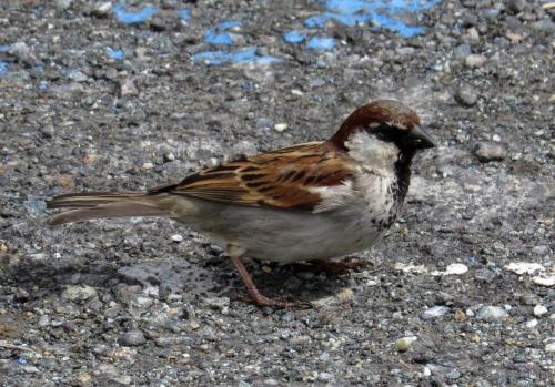 IMG_7368 House x Italian Sparrow