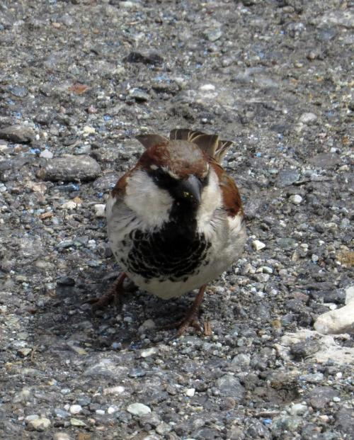 IMG_7375 House x Italian Sparrow