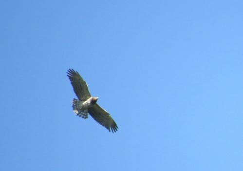 IMG_7392 ST Eagle