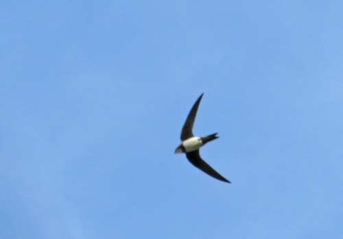 IMG_7884 Alpine Swift 2