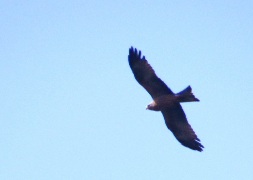 IMG_8128 Black Kite