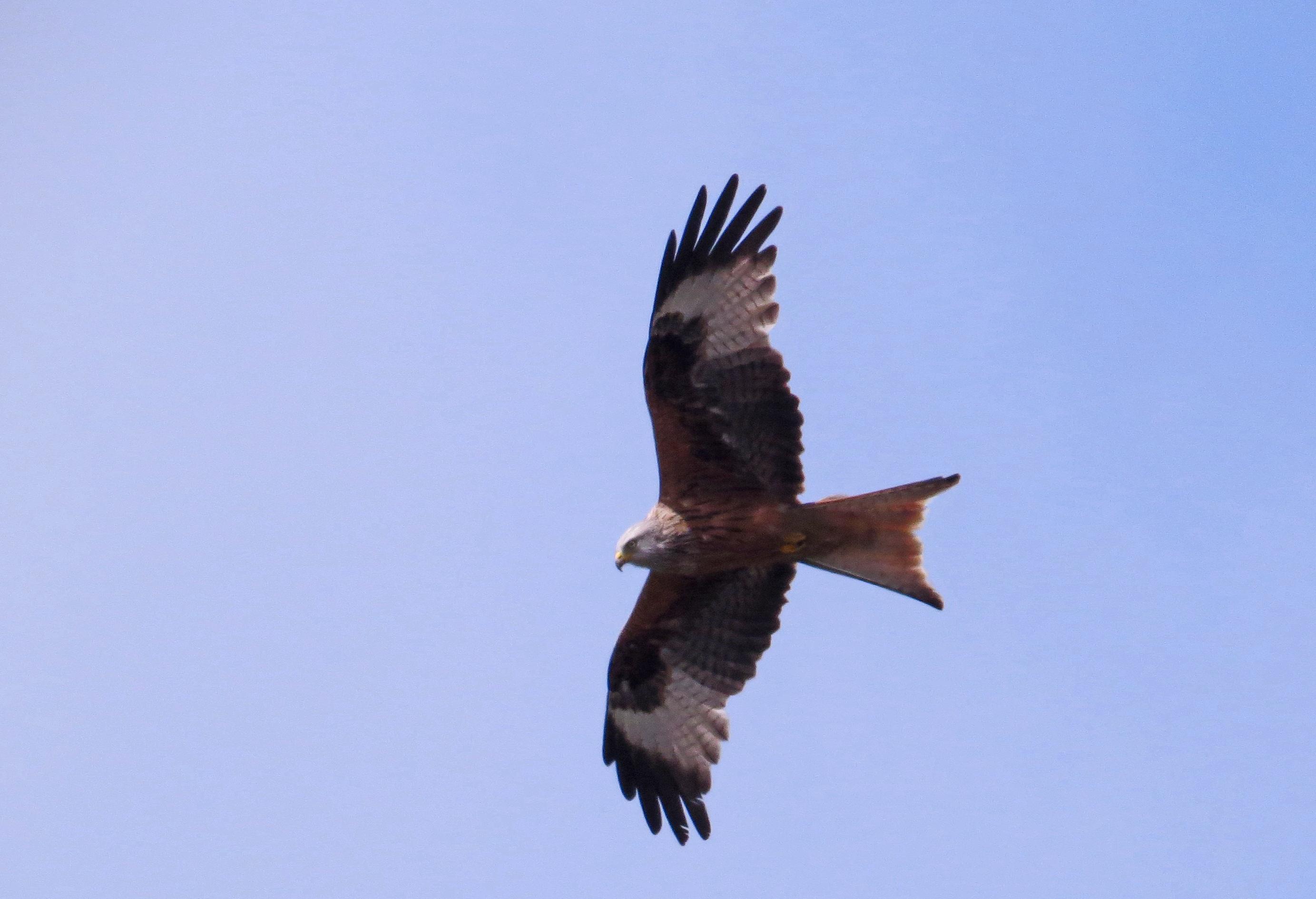 Img Red Kite