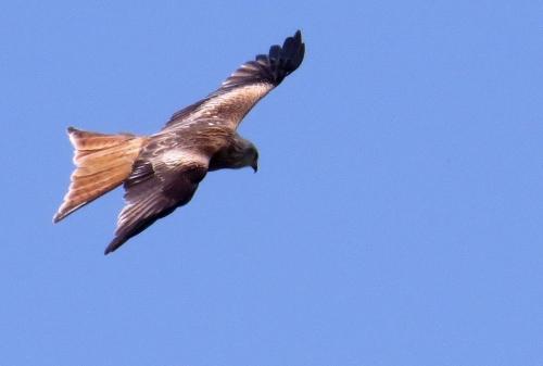 IMG_8130 Red Kite