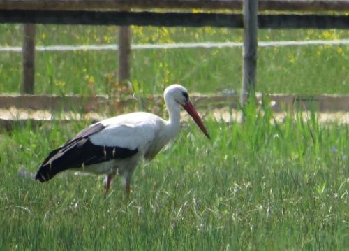 IMG_8308 White Stork