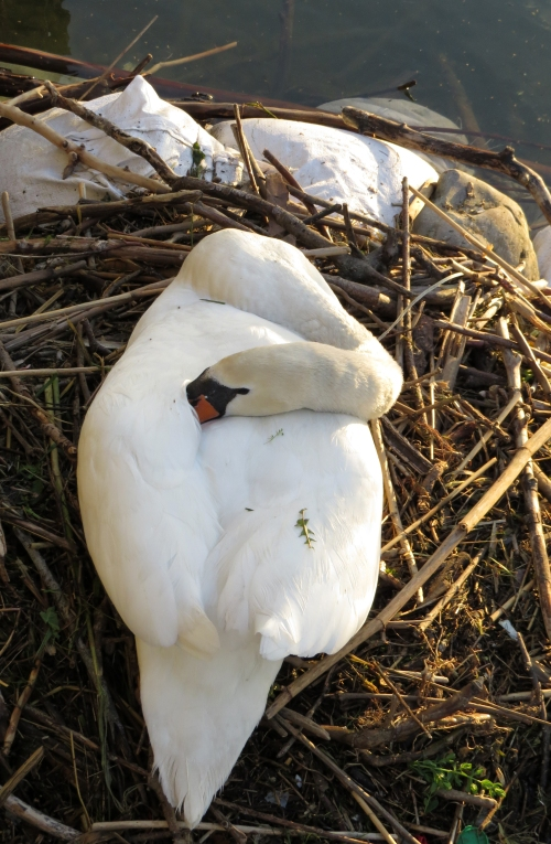 IMG_8395 Mute Swan on nest