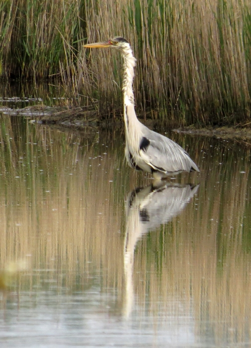 IMG_8414 Grey Heron Lodmoor