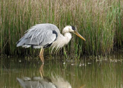 IMG_8424 Grey Heron Lodmoor