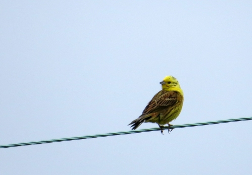 IMG_8447 Yellowhammer Wareham Forest