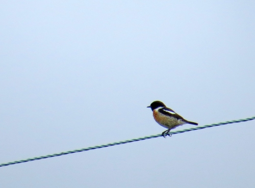 IMG_8450 Stonechat Wareham Forest