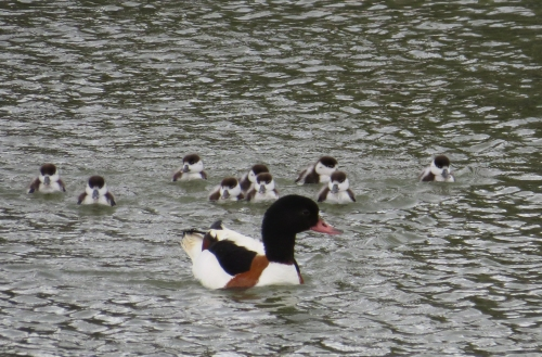IMG_8486 Shelduck & brood
