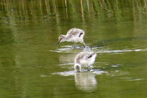 IMG_8512 Avocet chicks